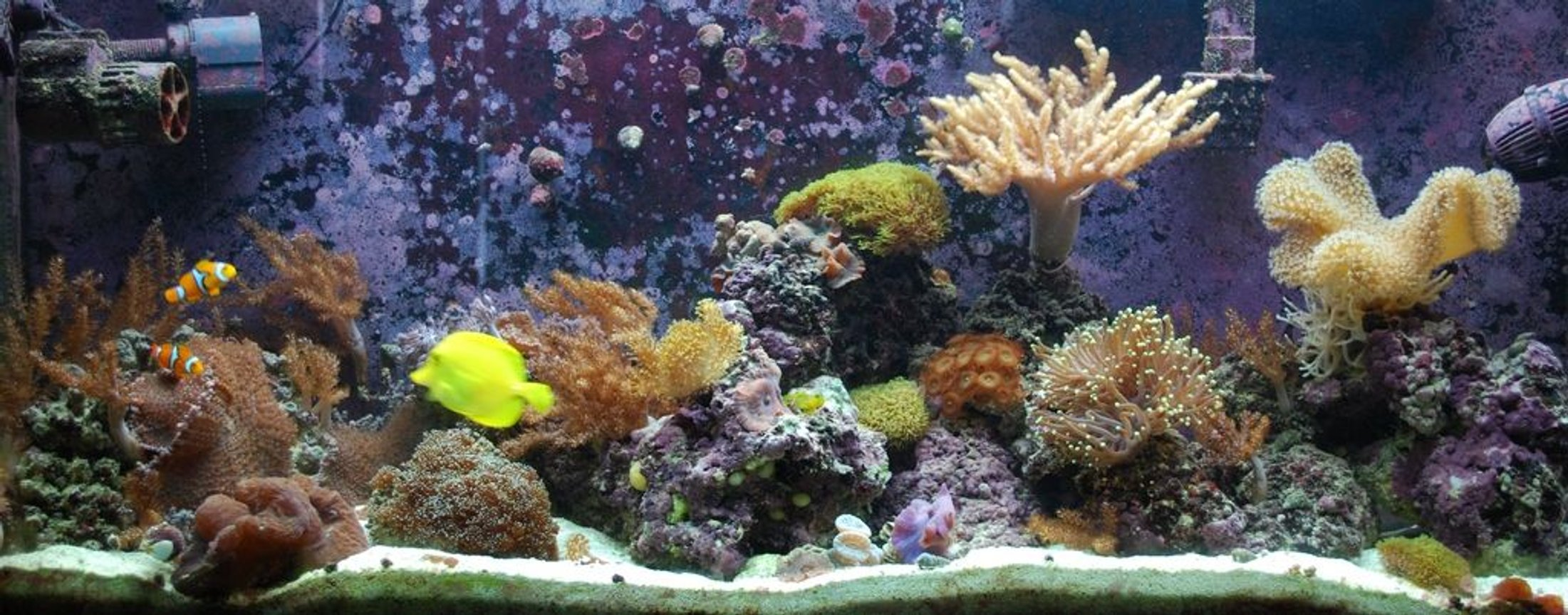55 gallons reef tank (mostly live coral and fish) - My newest FTS of my softy and LPS dominated reef tank