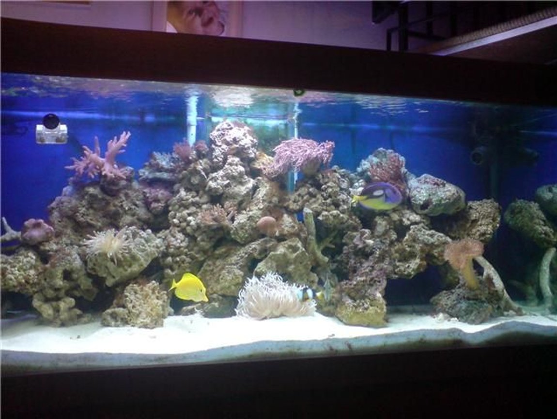 130 gallons reef tank (mostly live coral and fish) - latest picture
