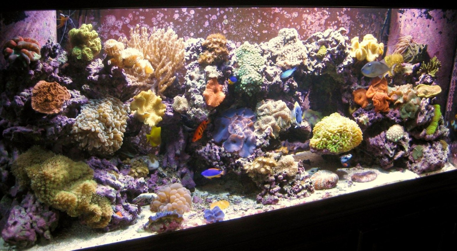 120 gallons reef tank (mostly live coral and fish) - latest pic as of Mar 3rd