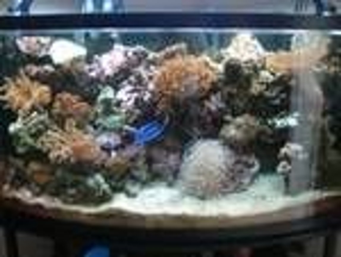 46 gallons reef tank (mostly live coral and fish) - My 46 gallon bow front lots of corals and fish. 1 year set up
