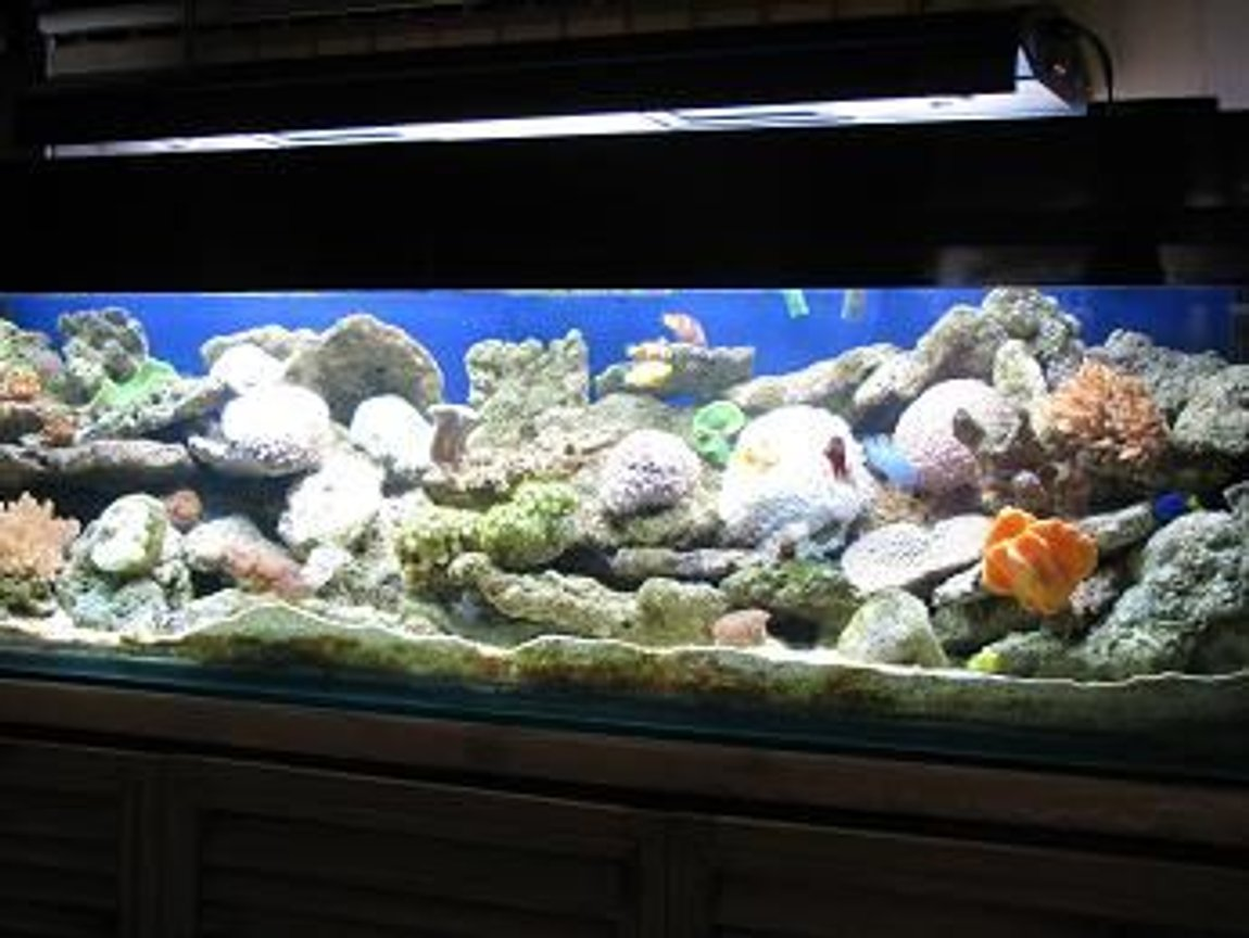 130 gallons reef tank (mostly live coral and fish) - 72*18*18 size tank with soft corals,live rocks,anemones..4 types of clown,damsel,gobies cover the tank..2 MH 2 moonlit,insump skimmer,2 wavemakers,diffuser endore my tank...enjoy