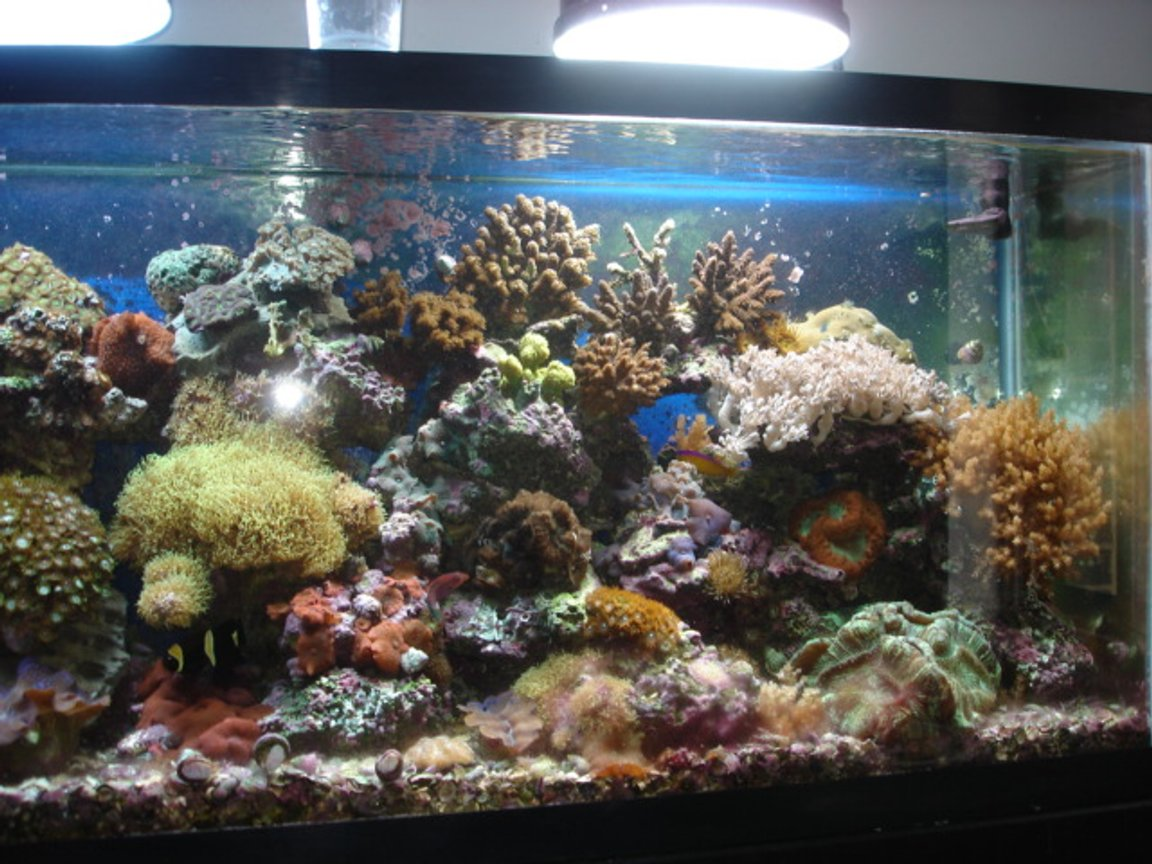 55 gallons reef tank (mostly live coral and fish) - reef