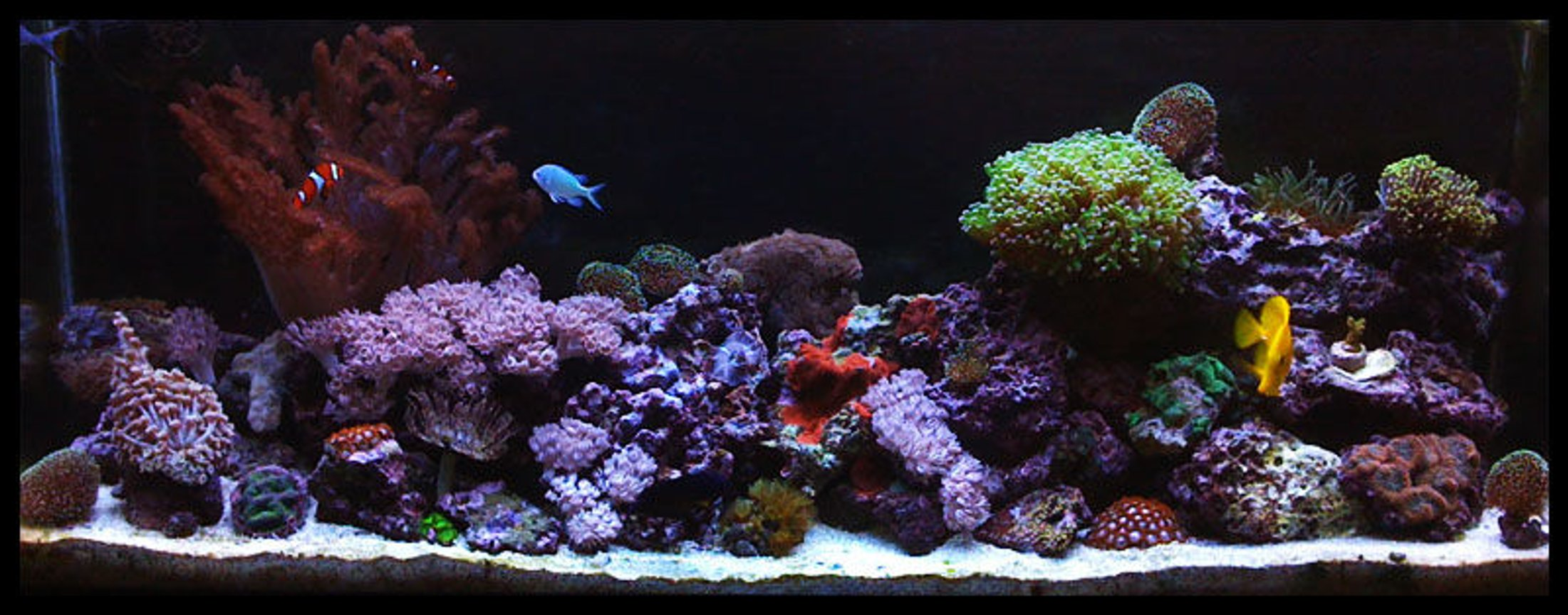 55 gallons reef tank (mostly live coral and fish) - Full Shot