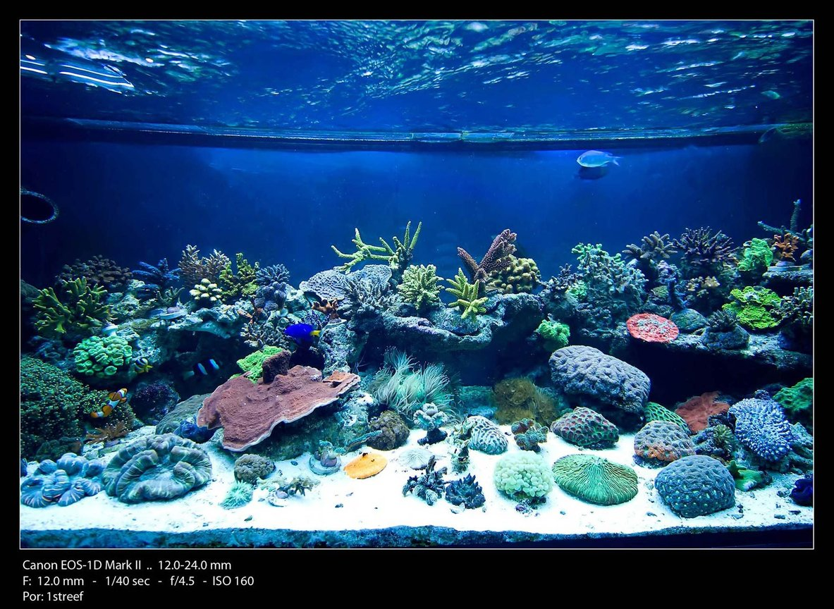 175 gallons reef tank (mostly live coral and fish) - Center tank shot