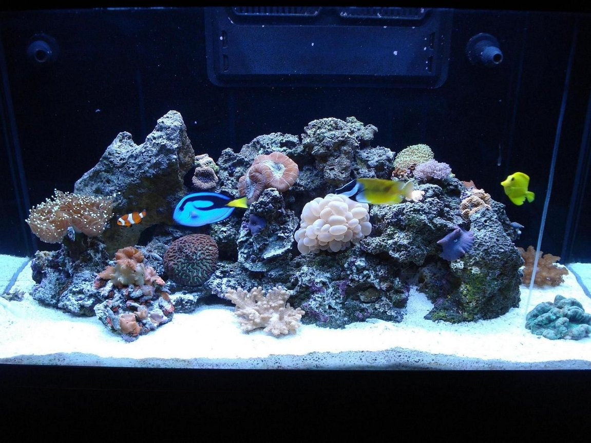 65 gallons reef tank (mostly live coral and fish) - LOULOU'S REEF TANK 1