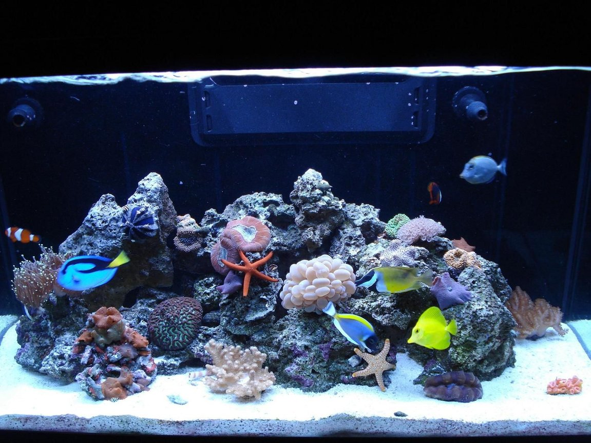 65 gallons reef tank (mostly live coral and fish) - LOULOU'S REEF TANK 2 FISH... BLUE HIPPO TANG ,YELLOW HAWIAN TANG, BLONDE NASO TANG,POWDER BLUE TANG, OCELLERUS CLOWN,TOMATO CLOWN,FOXFACE,SUNTAIL GOBY, YELLOW HEAD GOBY CORALS... WHITE BUBBLE, GREEN TIPPED PINK TORCH, RED BRAIN, METALLIC GREEN WORM BRAIN, FINGER LEATHER, UMBRELLA LEATHER, PINK PULSATING XENIAS, ZOANTHIDS- (BLUE,PINK,ORANGE,BROWN, GREEN,ORANGE AND YELLOW SUN POLYPS, MUSHROOMS-(BLUE,RED,GREEN, STRIPED. RICORDIAS-(GREEN AND ORANGE) INVERTS... SAND SIFTING STARS,ORANGE LINKIA STAR, RED FROMIA STAR,PINK TILE STAR, CLEANER SHRIMPS, RED FIRE SHRIMPS,CAMEL SHRIMP,PURPLE LOBSTER,CROCEA CLAM,SNAILS-(TURBO,BUMBLEBEE,NASARILUS)HERMITS-(RED LEGGED,BLUE LEGGED,BLUE EYED),SALLY LIGHTFOOT CRAB,BLUE TUXEDO URCHIN