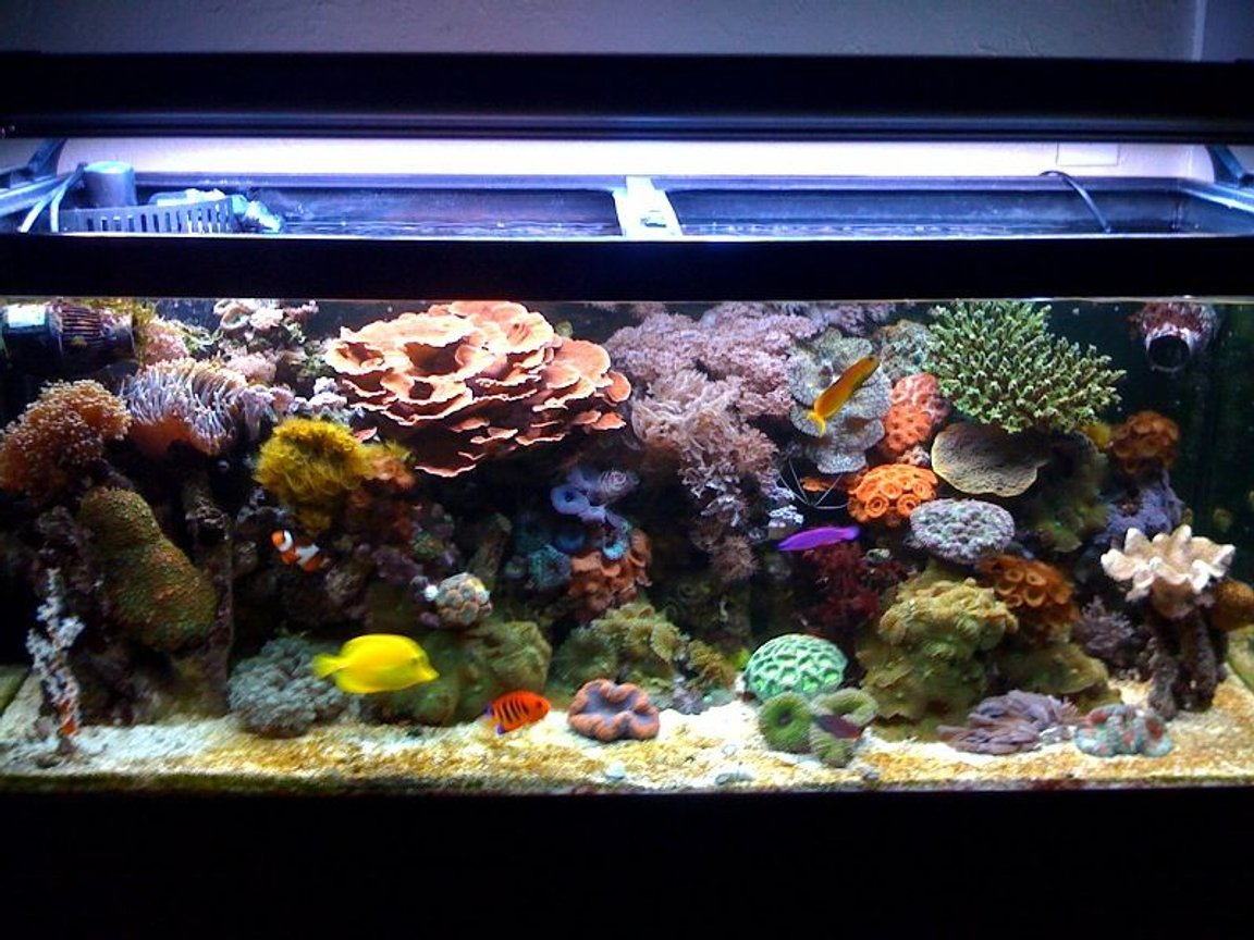 75 gallons reef tank (mostly live coral and fish) - My Reef Tank!!!!!!!!