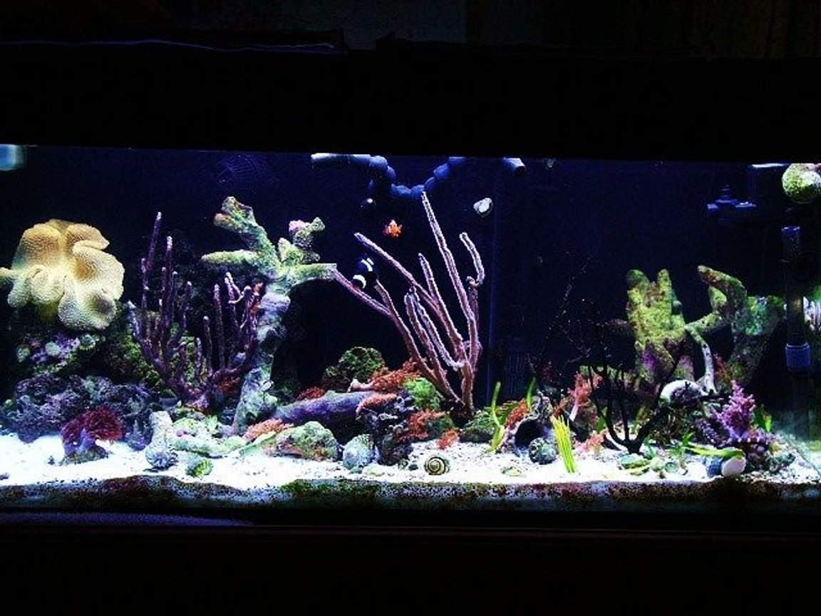 40 gallons reef tank (mostly live coral and fish) - Seahorse tank