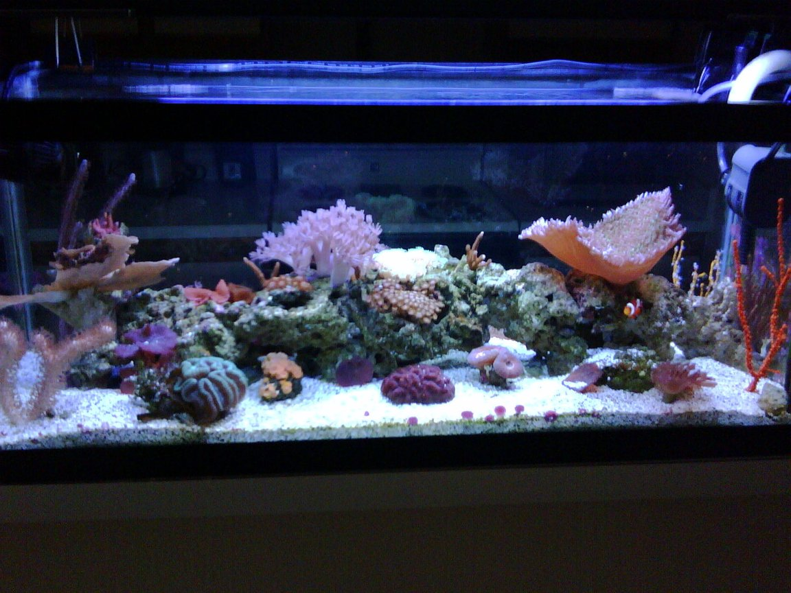 20 gallons reef tank (mostly live coral and fish) - reef side 2