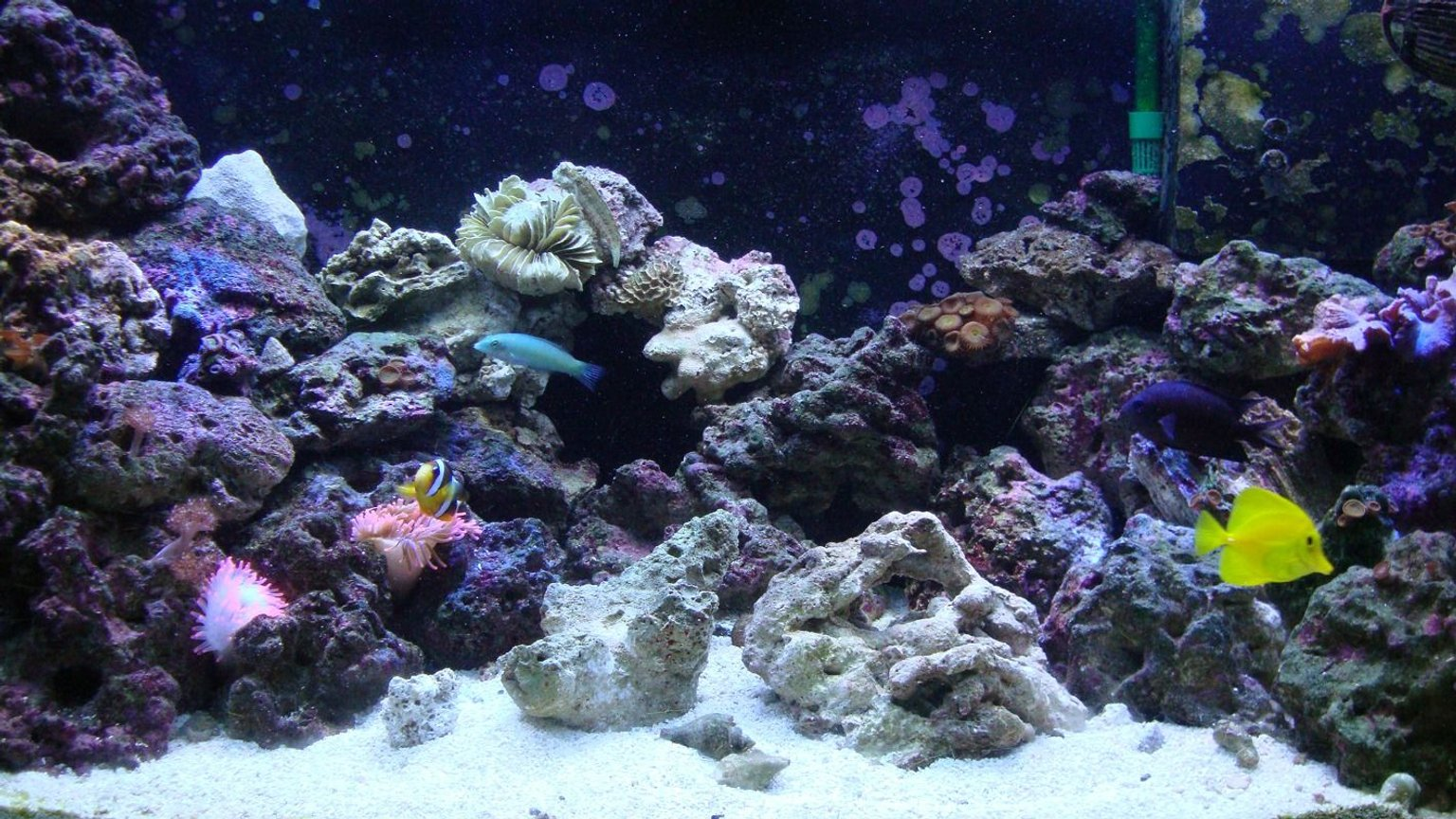 46 gallons reef tank (mostly live coral and fish) - Latest tank resurrection after crash of spring '09.