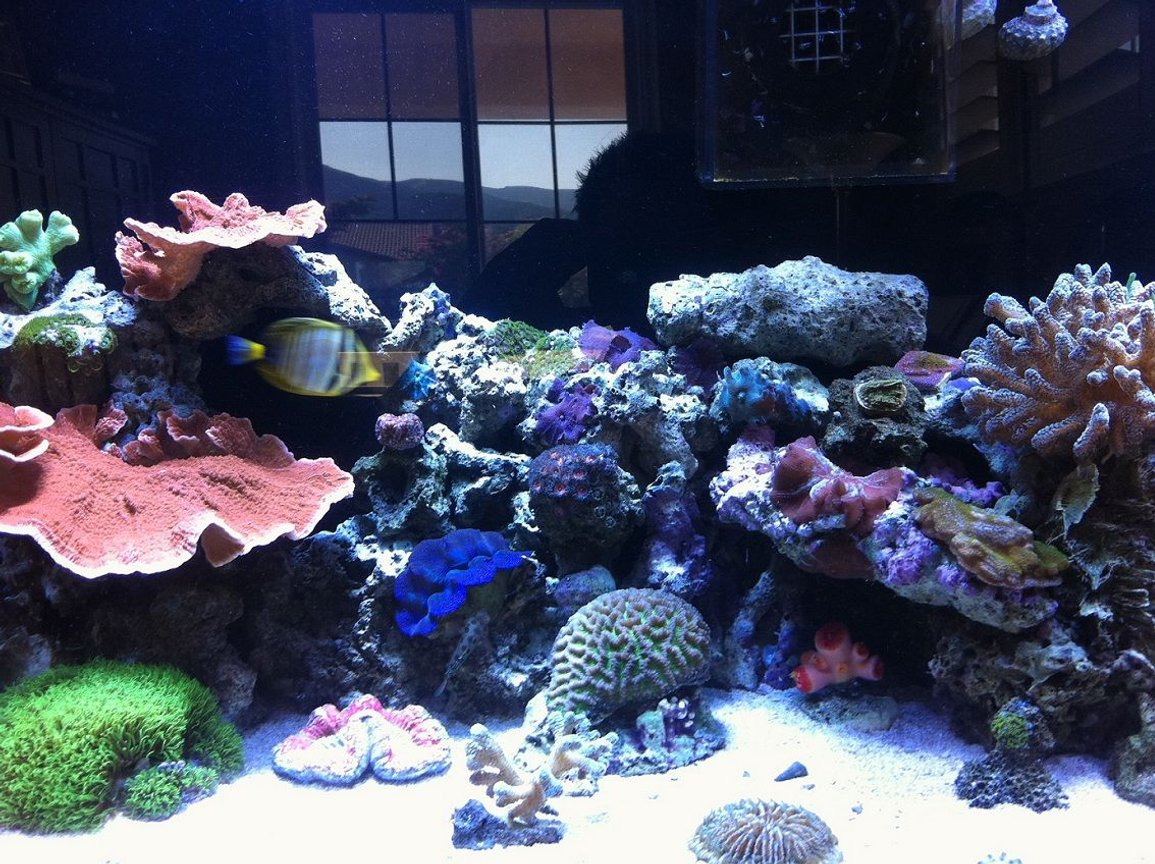 60 gallons reef tank (mostly live coral and fish) - Left side of Clear for Life 60 Gallon Tall w/ 25 Gallon Sump 2 x 250w 20000k Metal Halides(8.3w/gal) Bubble Magus NAC6 Skimmer MJ 900 Powerhead Koriala Hydor 2 Powerhead Return Pump Coralife 1270c 1/3 Hp Arctica Chiller