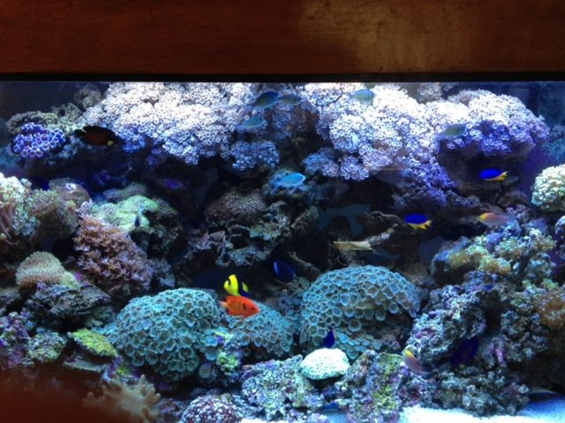 90 gallons reef tank (mostly live coral and fish) - 90 Gallon Reef Dwarf Angel Tank