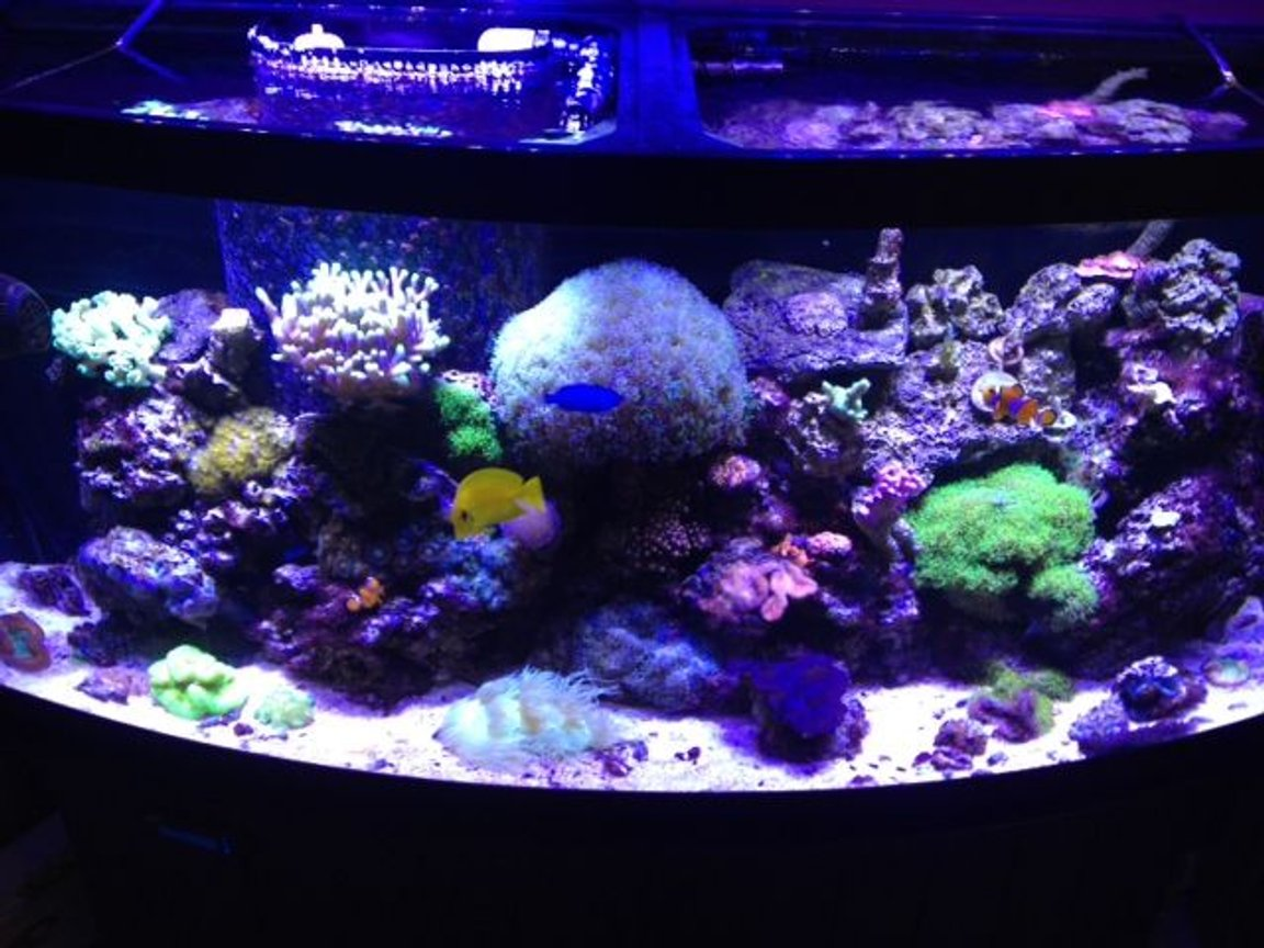 72 gallons reef tank (mostly live coral and fish) - This is my 72 bow front mixed reef.