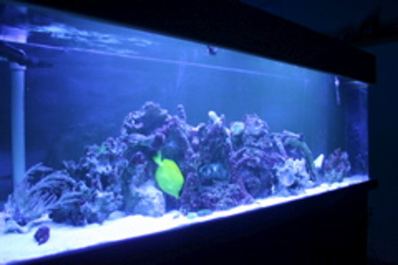 100 gallons reef tank (mostly live coral and fish) - The Blue Light!!!!!!!