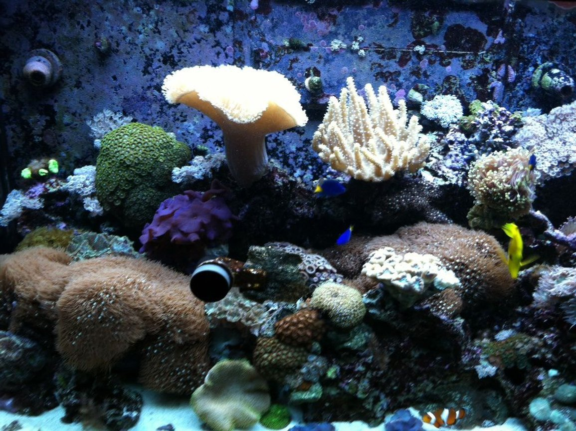 65 gallons reef tank (mostly live coral and fish) - Lps and soft coral tank