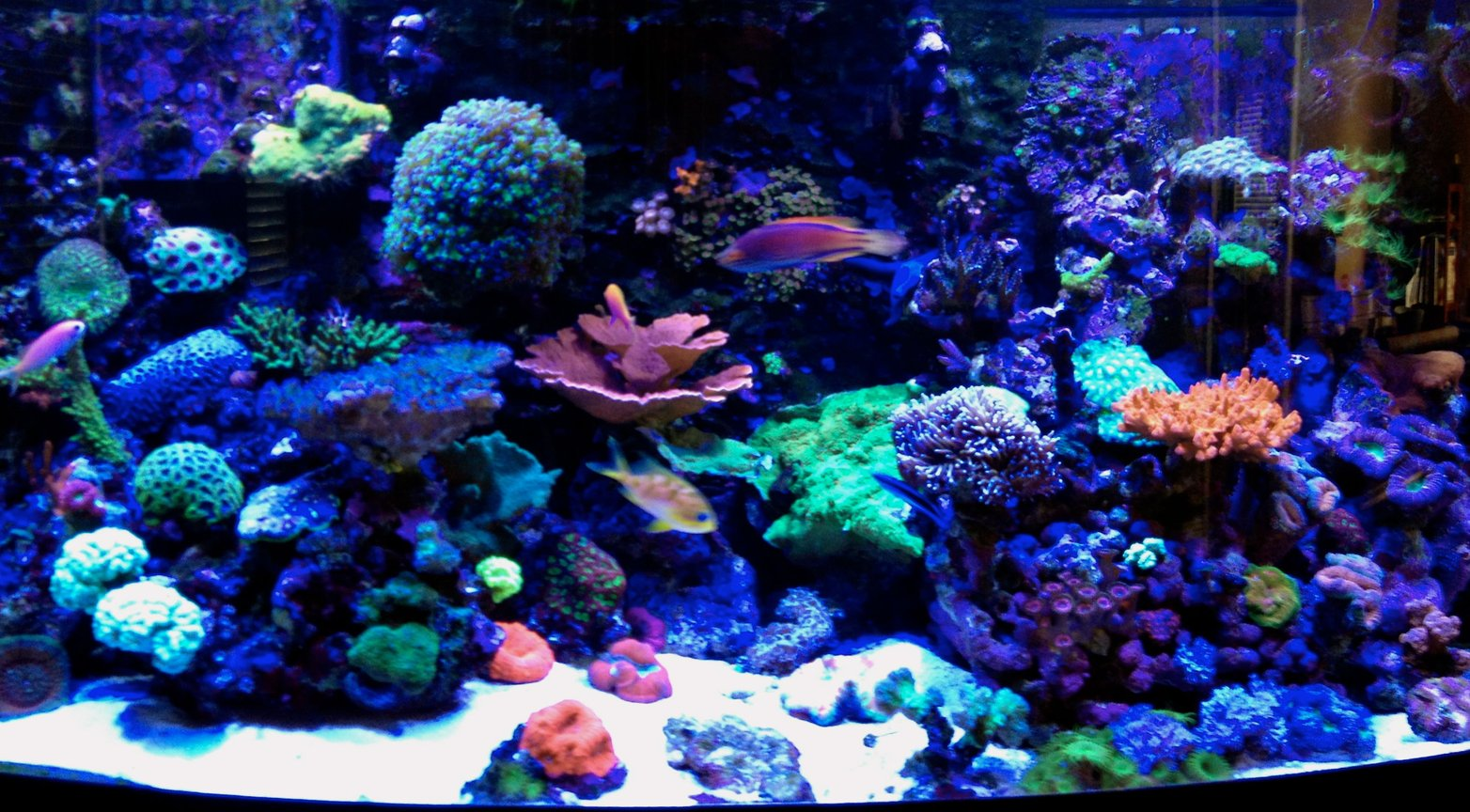 75 gallons reef tank (mostly live coral and fish) - Erik's 75 gallon bow-front