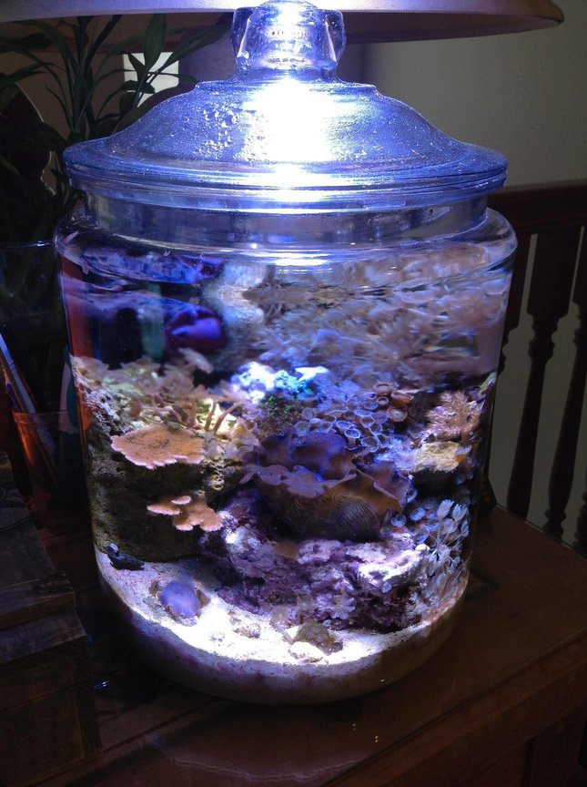 3 gallons reef tank (mostly live coral and fish) - My Pickle/Cookie Jar Pico Reef after 5 Months.
