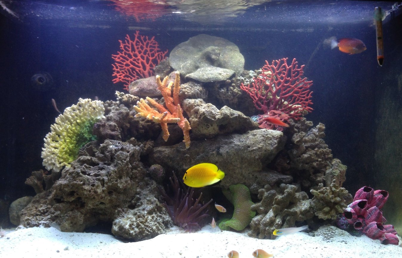 65 gallons reef tank (mostly live coral and fish) - Marine Life: Three-Spot Angelfish, Rusty Angelfish, Pink Skunk Clownfish, Whip-Fin Fairy Wrasse, Sleeper Gold Head Goby Live Rock, Long Tentacle Anemone, Green Carpet Anemone 65 gallon RedSea Saltwater Tank