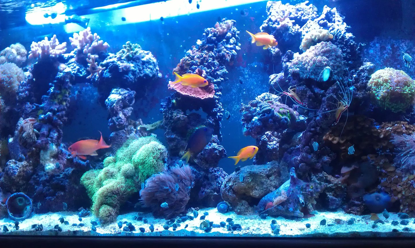 90 gallons reef tank (mostly live coral and fish) - Loving my reef