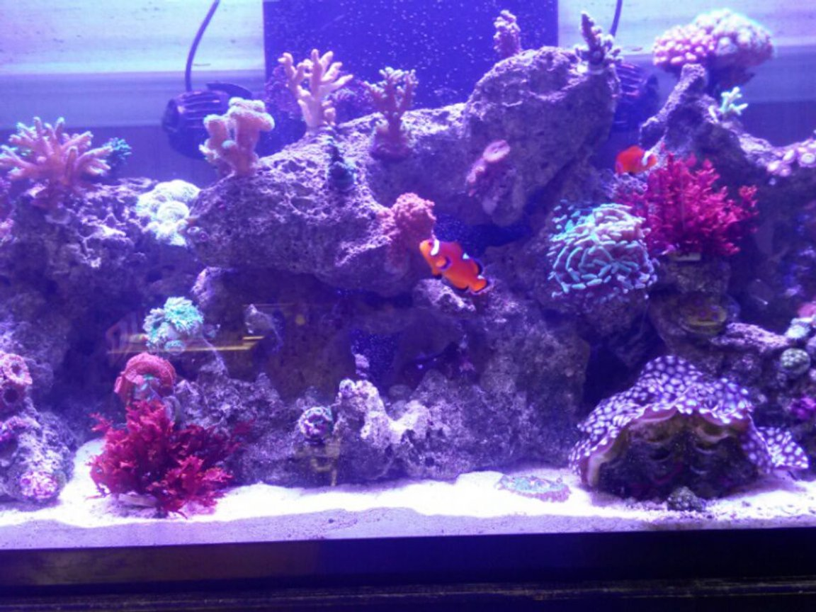 57 gallons reef tank (mostly live coral and fish) - Only pic I could get to load!