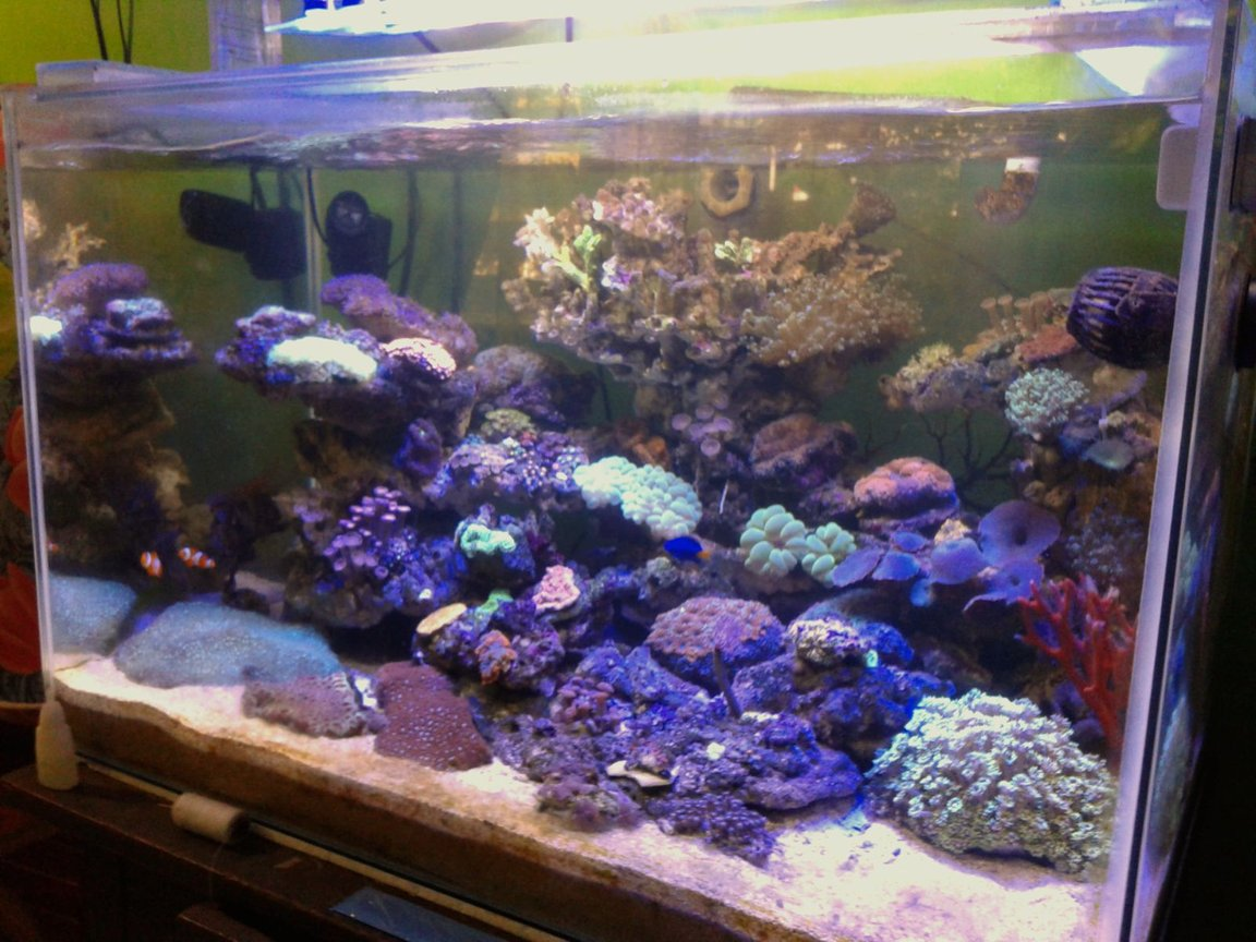 53 gallons reef tank (mostly live coral and fish) - Lps coral