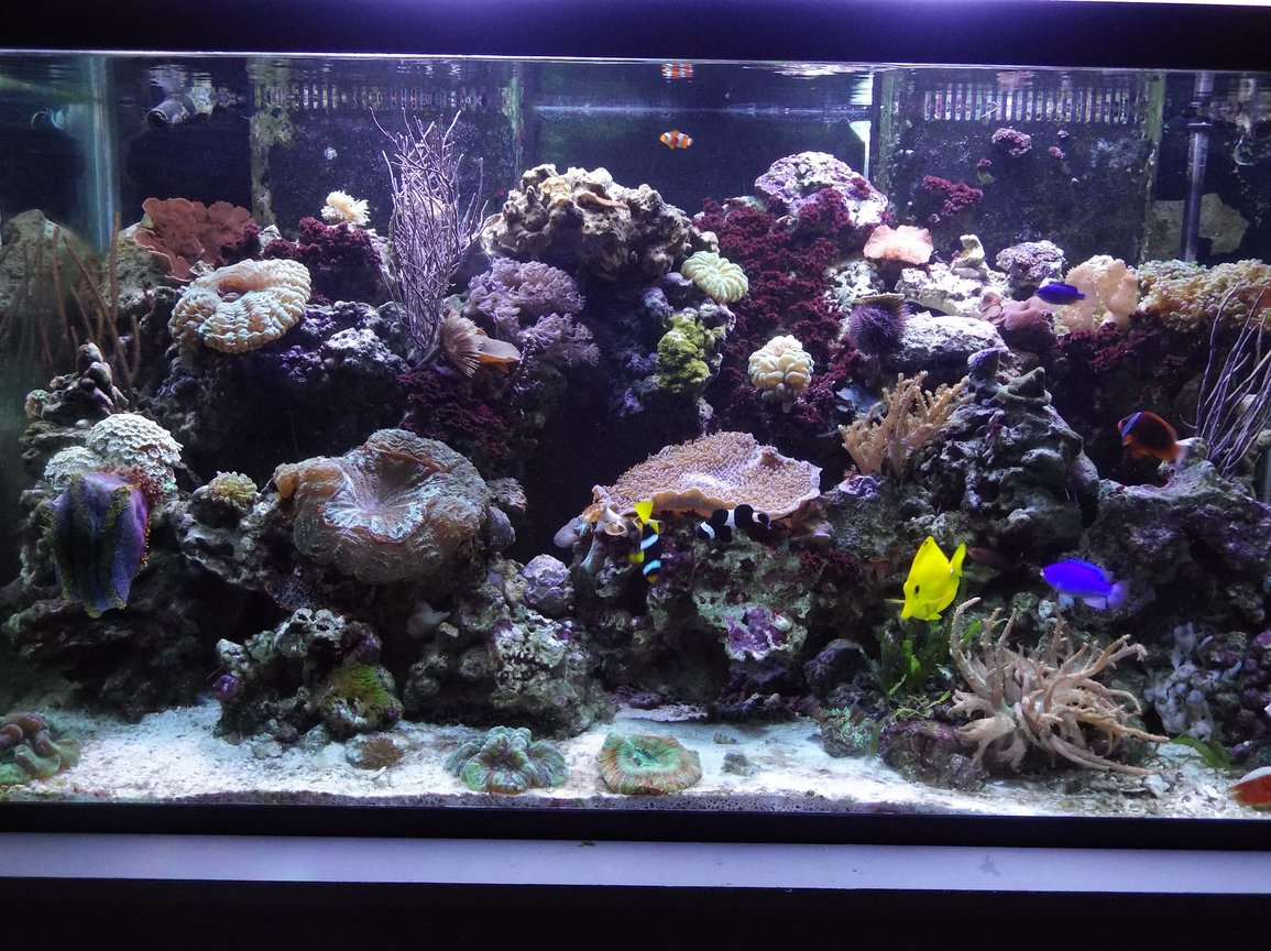 120 gallons reef tank (mostly live coral and fish) - Today's tank picture.