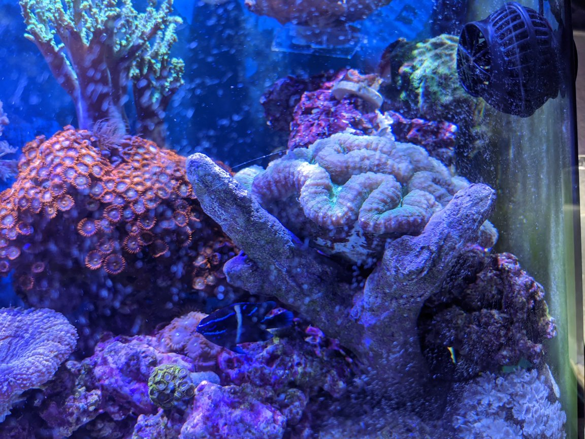 46 gallons reef tank (mostly live coral and fish) - Brains!