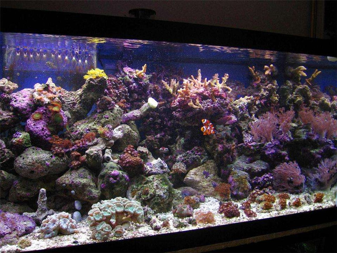 45 gallons reef tank (mostly live coral and fish) - 40 Gallon Breeder Display tank at 3 and a half months (May-Aug 06).