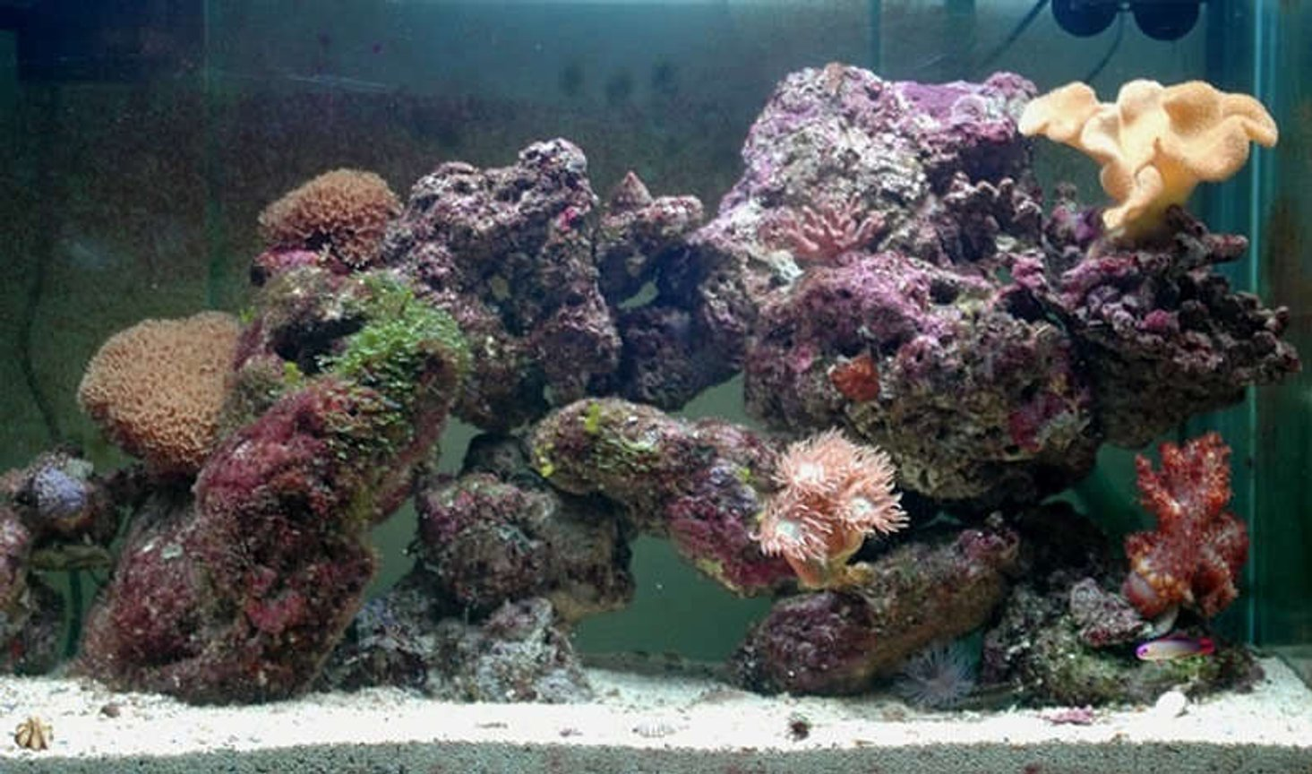 32 gallons reef tank (mostly live coral and fish) - Tank at nearly 2 months...
