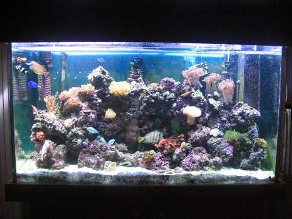 110 gallons reef tank (mostly live coral and fish) - My 110g reef.