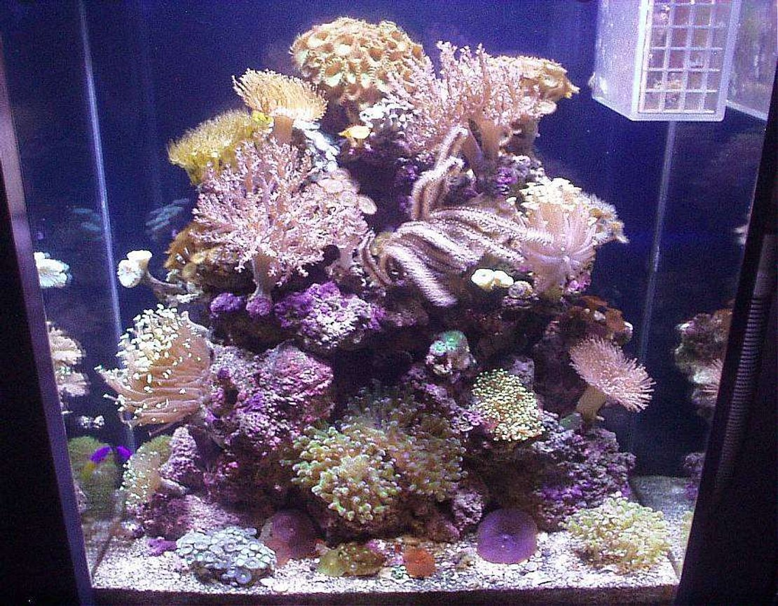 20 gallons reef tank (mostly live coral and fish) - THIS IS MY 20 GAL. EXTRA HIGH REEF NAMED, MARISOL. MAR MEANS, THE OCEAN, AND SOL MEANS, THE SUN. TAKE A LOOK AT THE INDIVIDUAL PICS OF EACH CORAL IN THIS TANK. AS I GET MORE PICS, I WILL ADD ON. THANKS FOR LOOKING AND FORGIVE MY PICTURES. I AM NOT A PHOTOGRAPHER. ALL PICTURES TAKEN WITH AN OLYMPUS 1.3 MEGAPIXEL CAMERA.