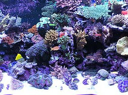 500 gallons reef tank (mostly live coral and fish) - Full reef tank pic.