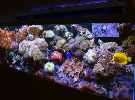 Rated #9: 125 Gallons Reef Tank - 125 gallon reef mixed corals soft and lps