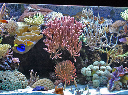 Rated #6: 225 Gallons Reef Tank - My 225 gallon SPS dominated Mixed Reef