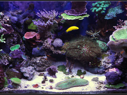 Rated #2: 65 Gallons Reef Tank - 1 1/2 year old reef tank.... Primarily SPS.....