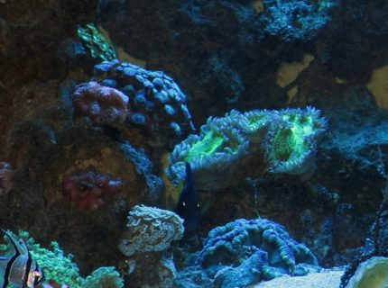 93 gallons reef tank (mostly live coral and fish) - 93 gallon cube. Metal Halides, sump filtration. Many leathers, brains, zoos, etc. Copperband, snowflake eel, purple tang, clownfish, wrasse, cardinal, flame angel, peppermint shrimp