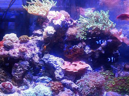 92 gallons reef tank (mostly live coral and fish) - One of 2 92 gallon displays