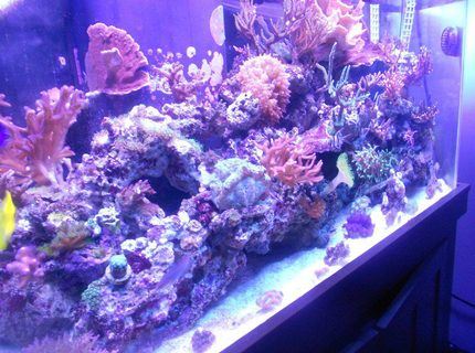 90 gallons reef tank (mostly live coral and fish) - growning.. growing..