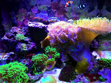 Rated #3: 29 Gallons Reef Tank - 2 years Running: 29 gallon biocube. 2 Oce clowns (orange & black), 1 coral beauty angel, Branching Duncan Coral, 2 T-maxima clams (black & blue), 3 green tip frogspawn, green striped mushrooms, yellow sun coral, leather toadstool, favia, small zoa colony, green elegance coral. LED lighting.