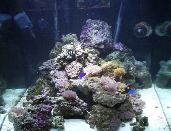 277 gallons reef tank (mostly live coral and fish) - My 93 gallon cube before hooking into my system