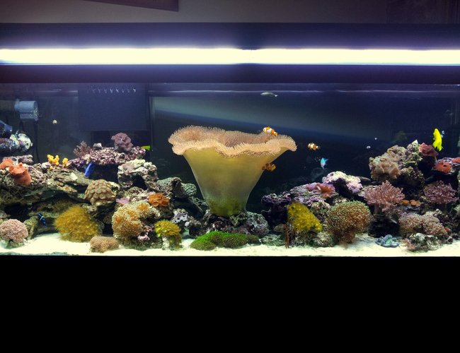 125 gallons reef tank (mostly live coral and fish) - My 125 gal reef aquarium