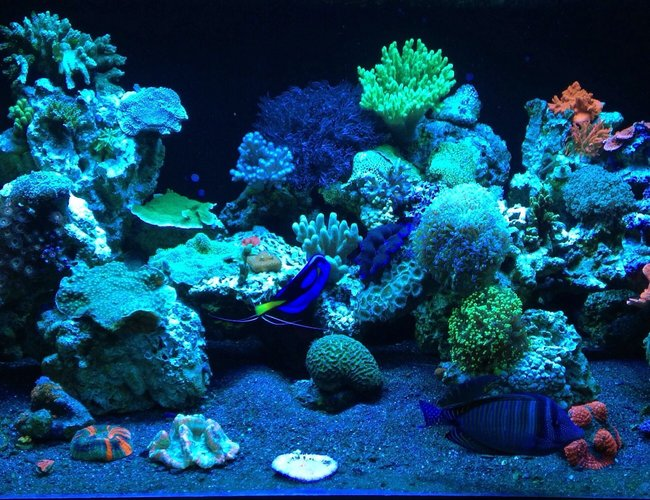 187 gallons reef tank (mostly live coral and fish) - ReEfErAdDiCt'S 187 Gallon Mixed Reef