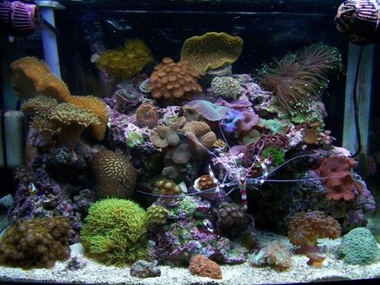 Rated #35: 28 Gallons Reef Tank - My reef tank