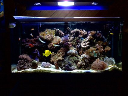Rated #32: 55 Gallons Reef Tank - fully stocked