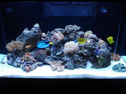 Rated #52: 65 Gallons Reef Tank - LOULOU'S REEF TANK 1
