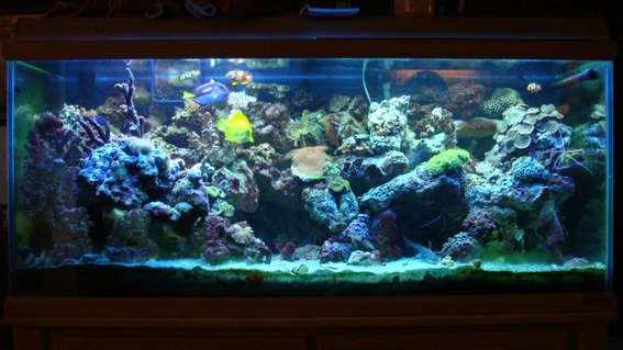 Rated #54: 75 Gallons Reef Tank - 75g reef