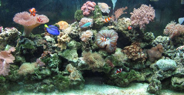 Rated #57: 110 Gallons Reef Tank - 110 gallon - 20+ coral, 10 fish, some inverts