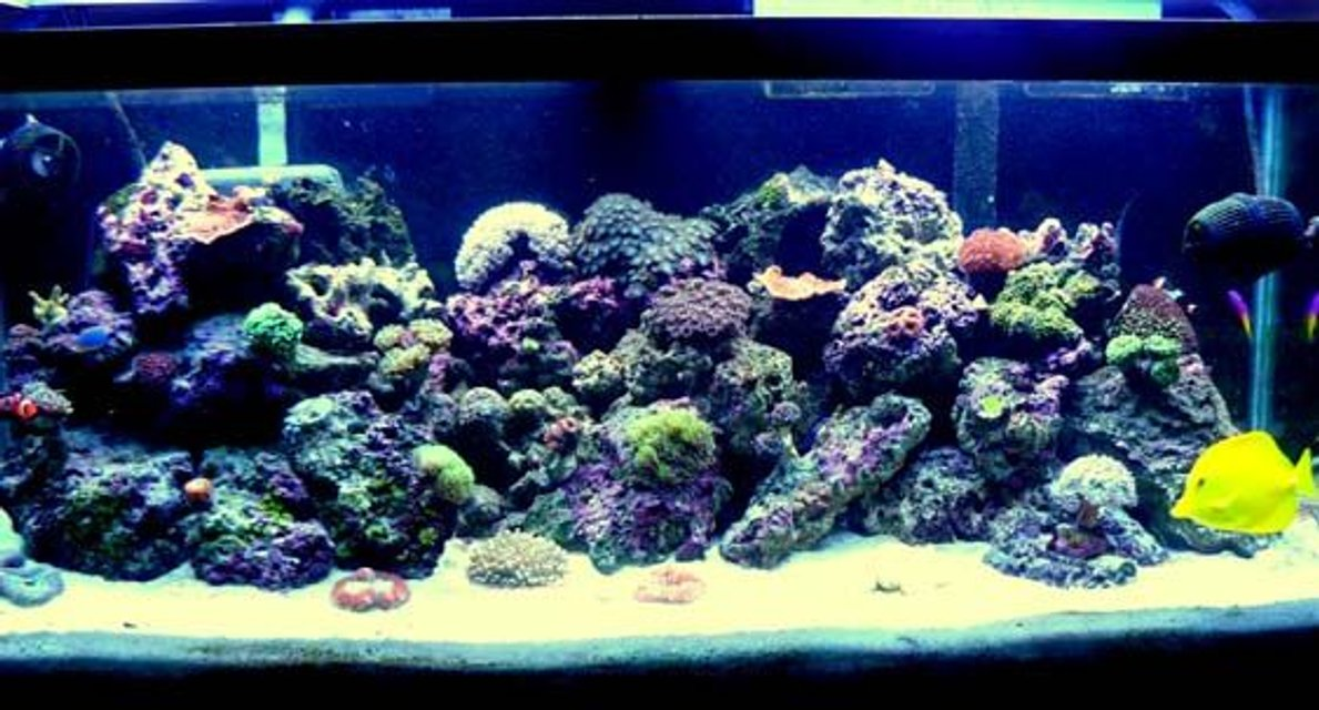 Rated #73: 75 Gallons Reef Tank - My Caribbean Paradise