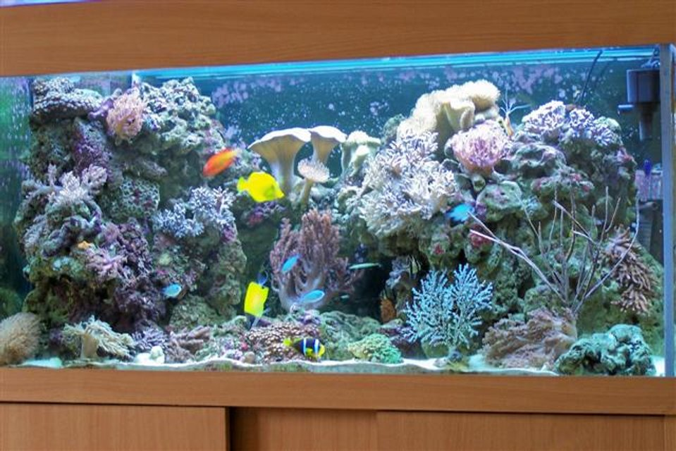 Rated #43: 100 Gallons Reef Tank - my reef