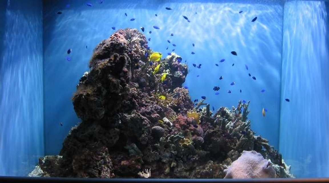 Rated #93: 320 Gallons Reef Tank - all your damsels are belong to us